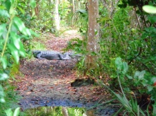 Shark Valley Alligator on a trail
