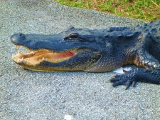 Shark Valley Alligator