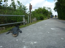 Shark Valley Alligator by the entrance
