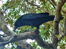 Shark Valley Crow