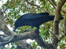 Shark Valley Crow