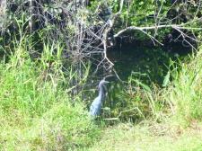 Shark Valley Heron