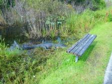 Shark Valley Alligator behind a bench