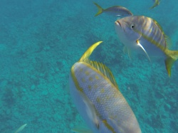 Grand Turk Wall Yellow Tail Snappers