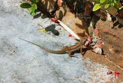 lizard in St Thomas