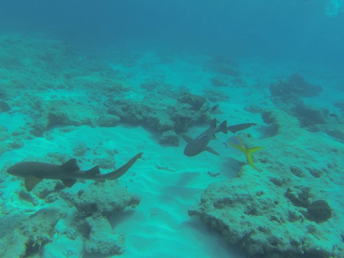 nurse sharks in Grand Turk