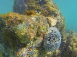 Sea Urchin in St Maarten