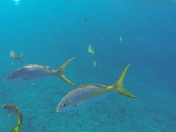 yellow tail snappers in Grand Turk