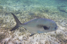 I Shot a Permit Fish In CaymanIslands