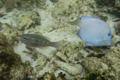 Honduras reef fish small-3