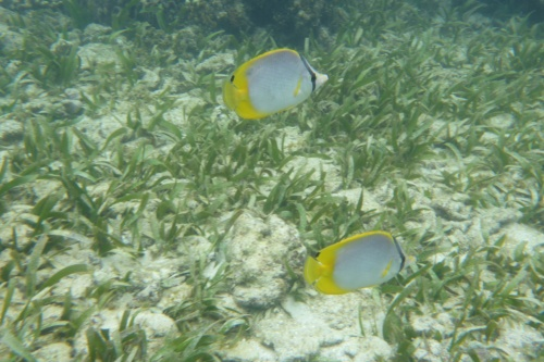 Honduras reef fish small